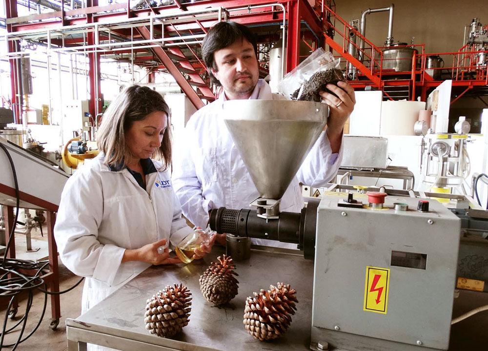 aceite-de-semilla-de-pino-que-previene-la-obesidad-y-la-diabetes_395310